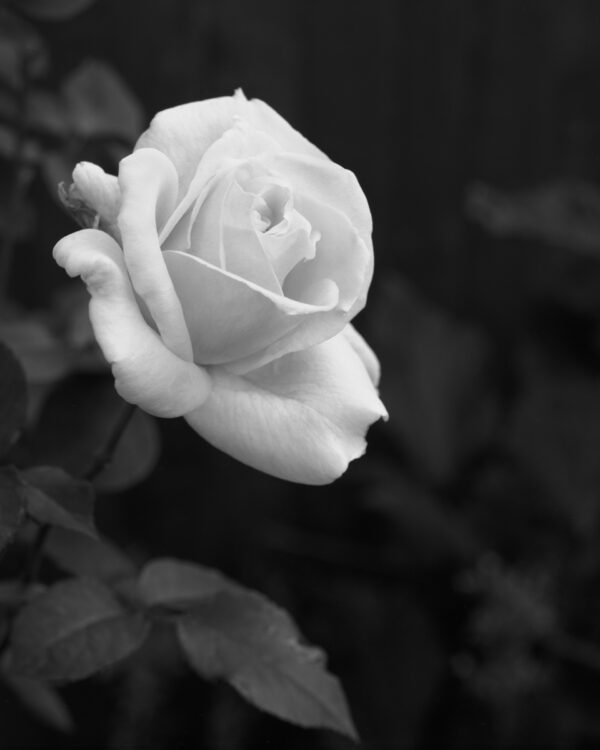 Rose Black And White Print